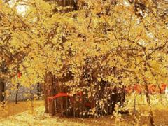秋天賞銀杏心情說說文藝范 滿地銀杏樹葉的說說大全