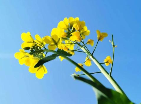 关于油菜花的说说简短带图片 2021晒油菜花自拍的短句4