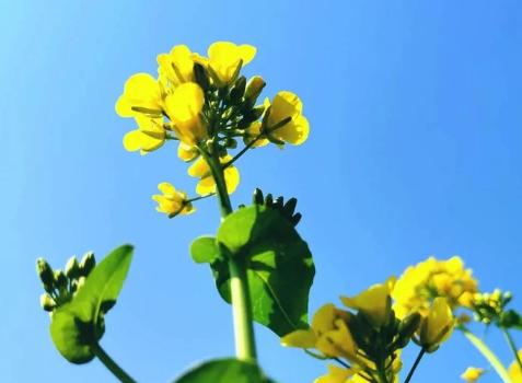 关于油菜花的说说简短带图片 2021晒油菜花自拍的短句5