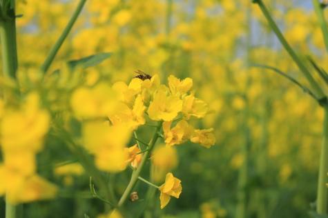 关于油菜花的说说简短带图片 2021晒油菜花自拍的短句9