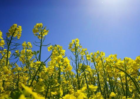 关于油菜花的说说简短带图片 2021晒油菜花自拍的短句14
