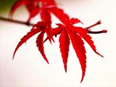 秋季关于欣赏枫叶的心情说说 描写秋季枫叶优美的句子